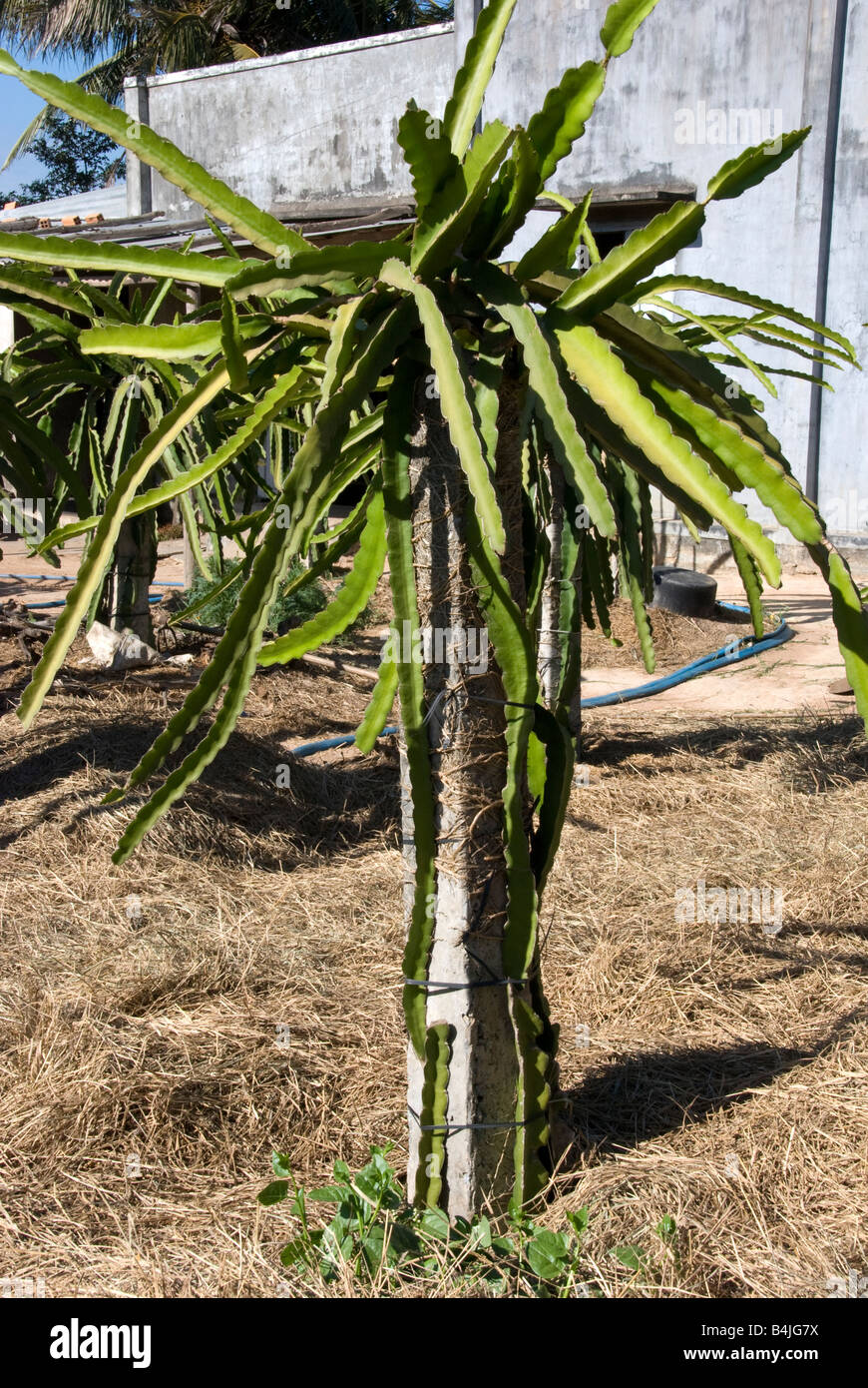 how to support dragon fruit plants