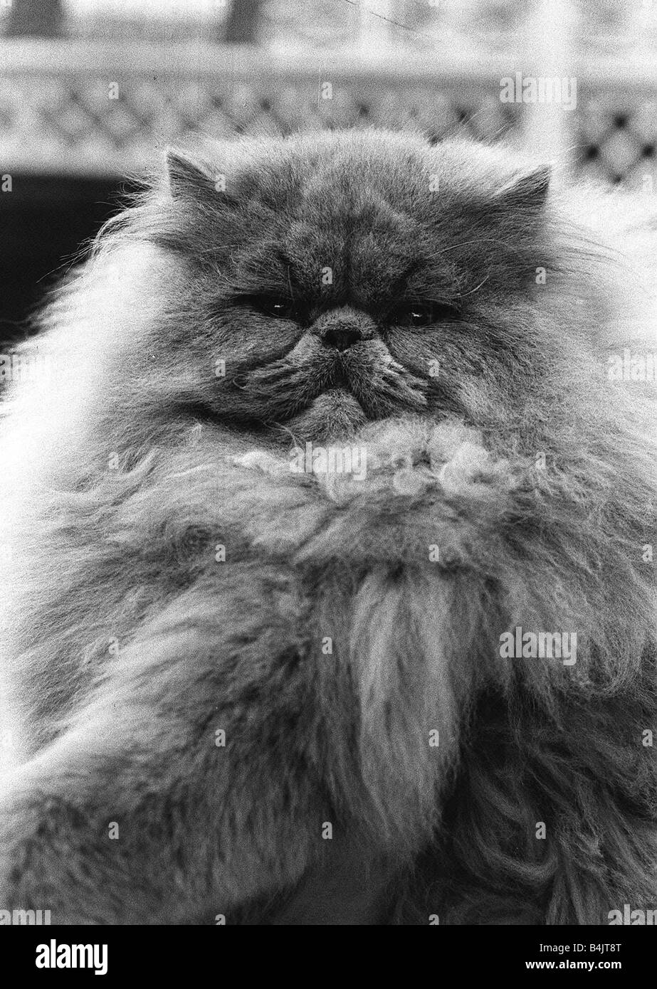 National Cat Club Championship At The Olympia Blue Persian Cat In The Stock Photo Alamy