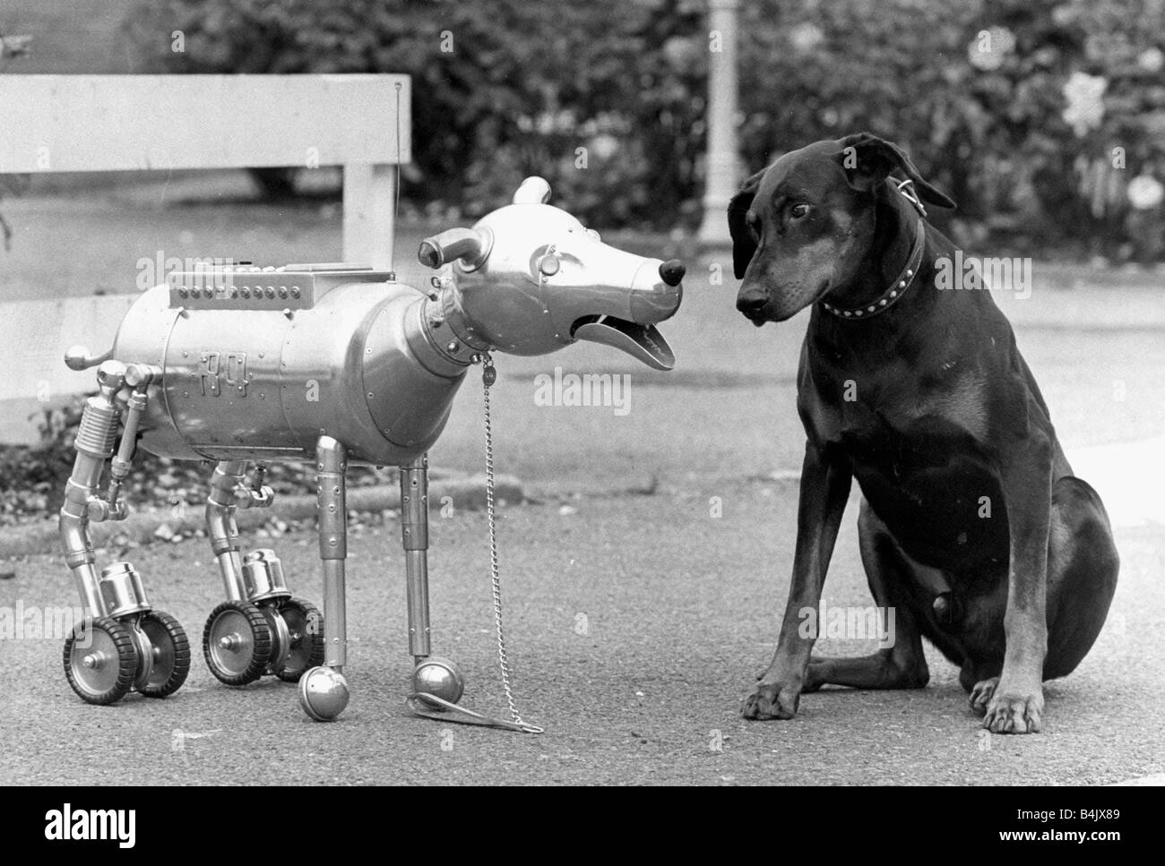 Robot dog R4 meets Hitler the Real Doberman Dog with