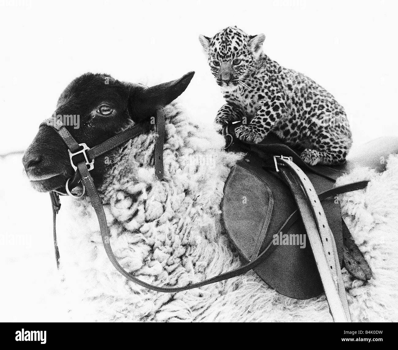 Lady Jane the sheep who is tame enough to give children rides is giving a ride to a baby leopard on her specially Stock Photo