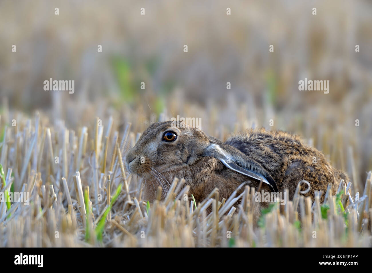 Brown Hare (Lepus europaeus) laid down in a stubble field. - Stock Image