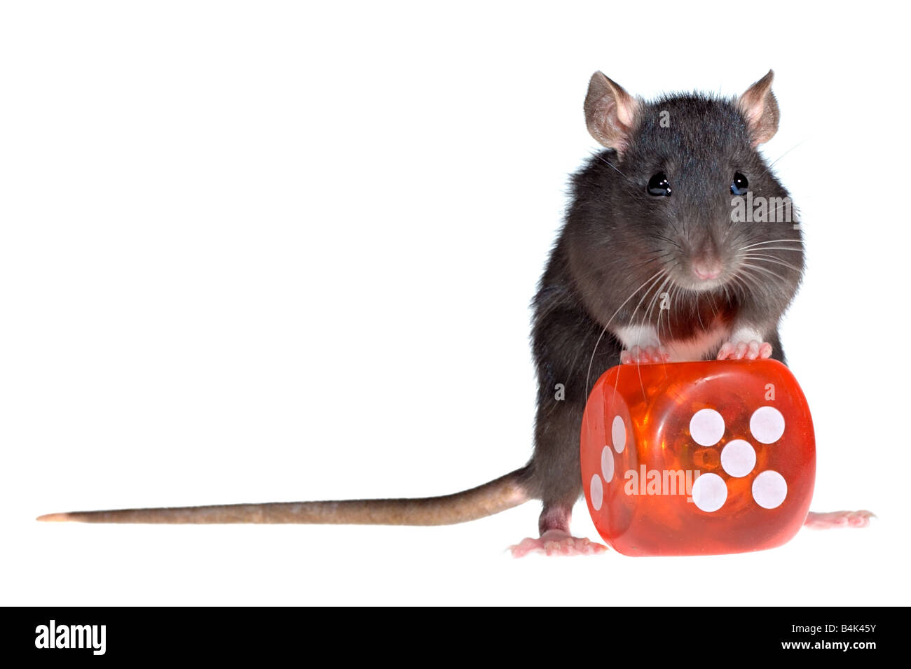 funny rat with red dice in paws - Stock Image