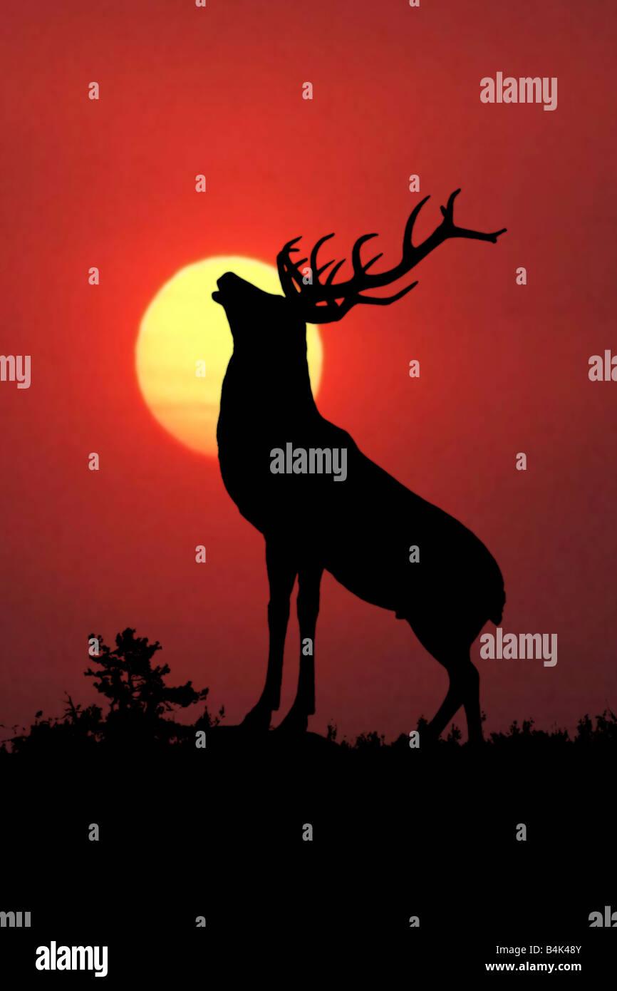 Bull elk sillouette at sunset - Stock Image