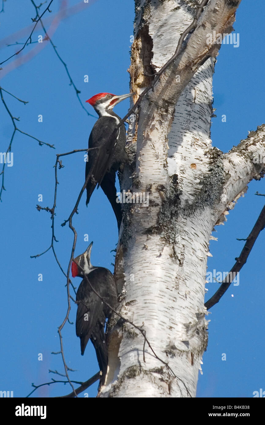 A pair of pileated woodpeckers Dryocopus pileatus on a white birch tree in Michigan s Upper Peninsula - Stock Image