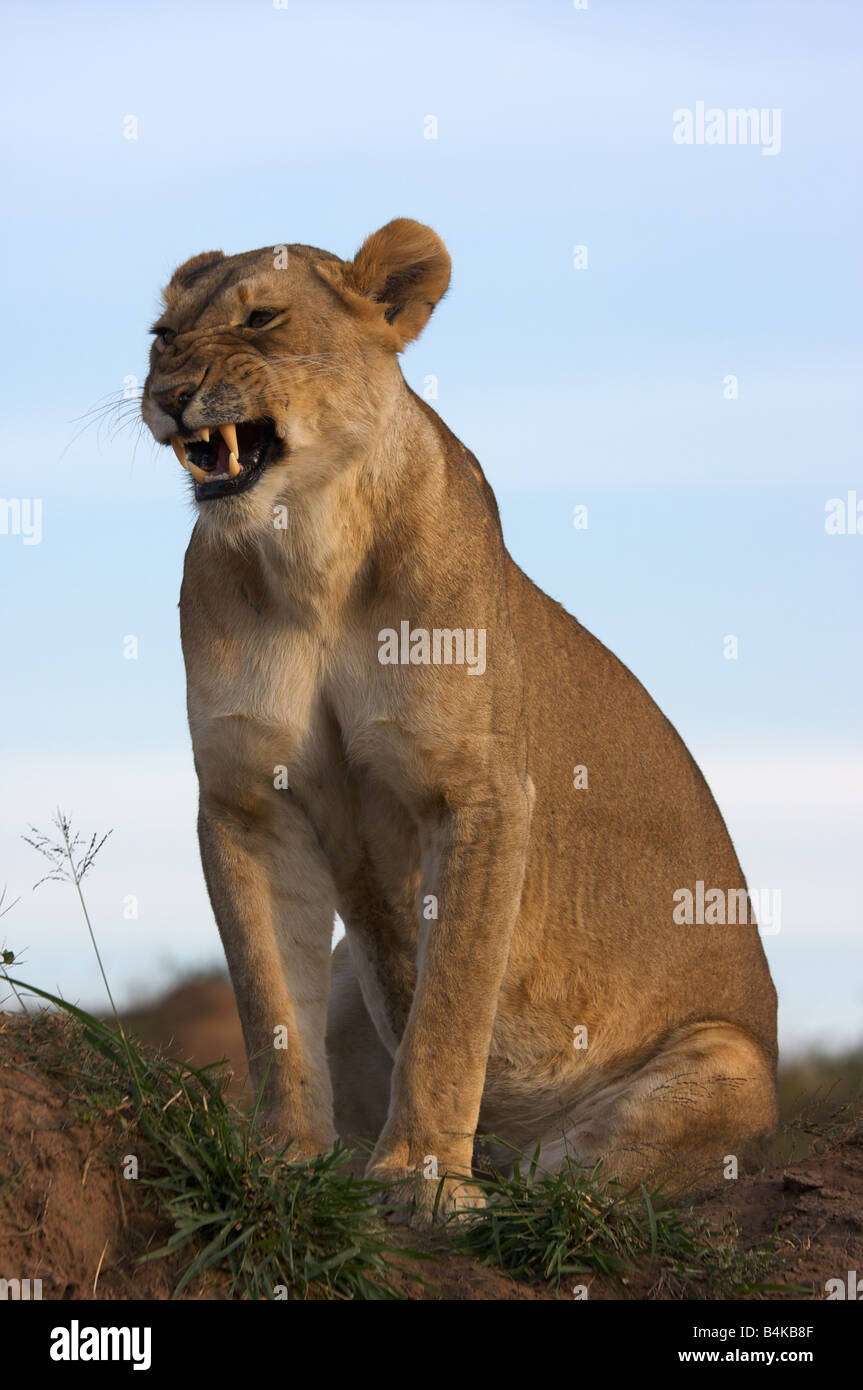 Female lion snarling, Masai Mara, Kenya, East Africa - Stock Image
