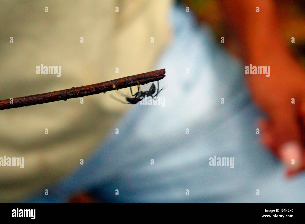 Bullet ant, Amazon Basin rainforest, Oriente, Ecuador Stock Photo
