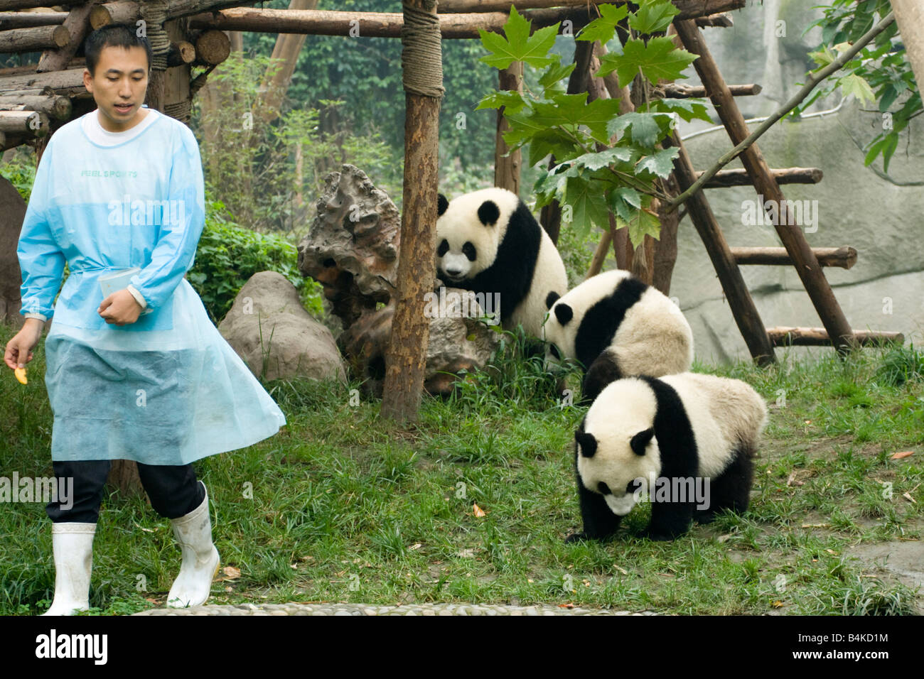 A group of young giant pandas (Ailuropoda melanoleuca ) at the Panda Breeding and Research Center Chengdu China - Stock Image