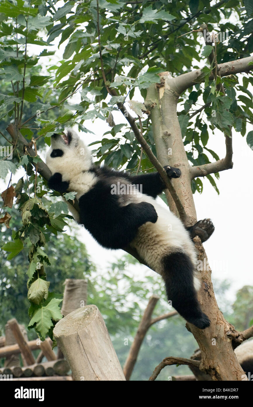 A giant panda (Ailuropoda melanoleuca)  relaxing in the Chengdu Panda Breeding and Research Center China - Stock Image