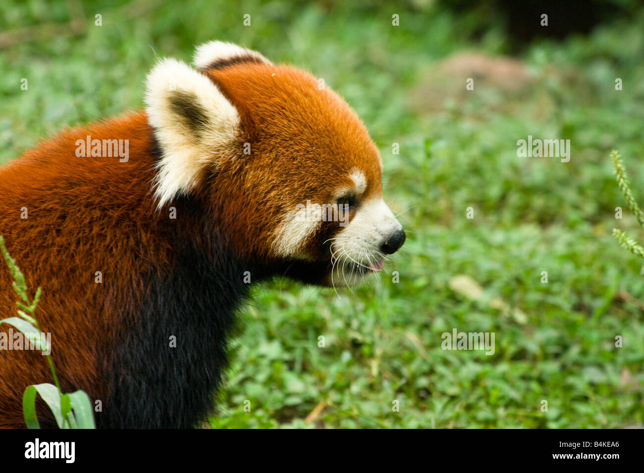 A red panda (Ailurus fulgens) Chengdu Panda Breeding and Research Center China - Stock Image