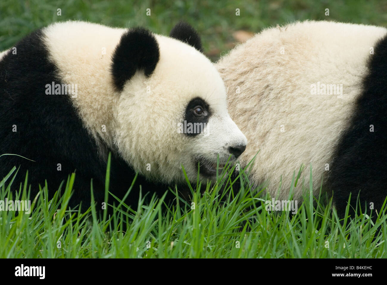 A giant panda cub relaxing in the Chengdu Panda Breeding and Research Center China - Stock Image