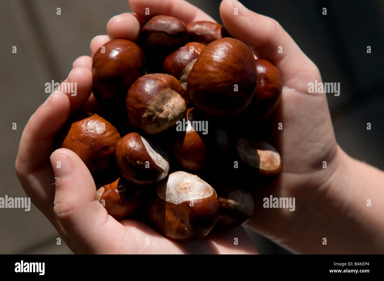 A handful of ripe glistening conkers horse chestnuts , autumn UK - Stock Image