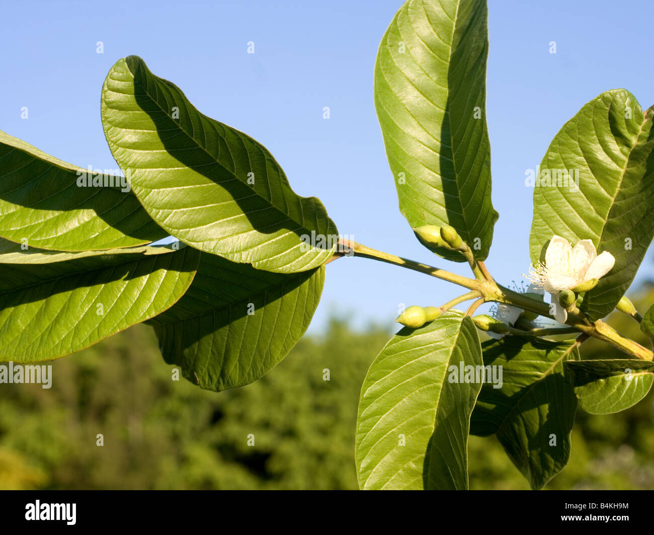 Guava Tree Leaves Images