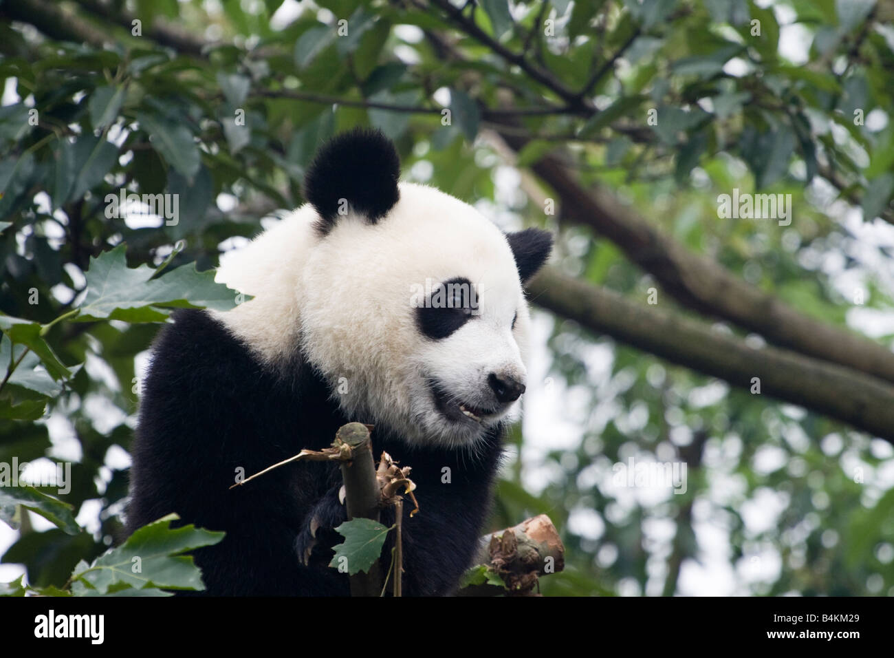 A giant panda (Ailuropoda melanoleuca ) relaxing in the Chengdu Panda Breeding and Research Center China - Stock Image