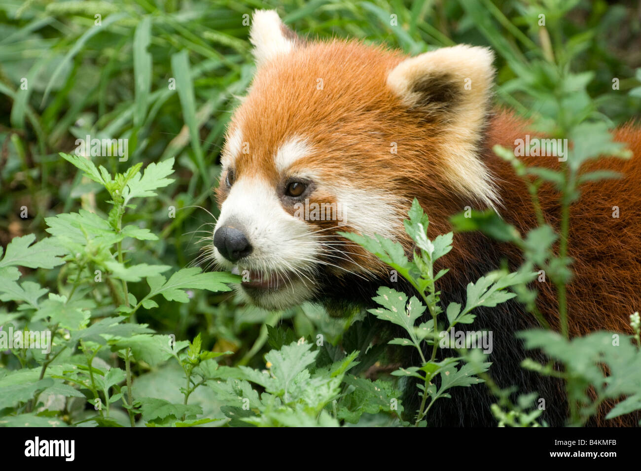 A red panda (Ailurus fulgens) sniffing undergrowth Chengdu Panda Breeding and Research Center China - Stock Image