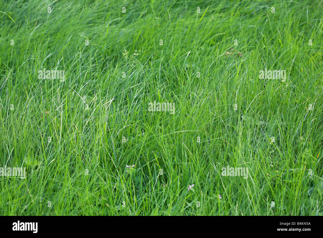 Fresh green grass on a lawn as a background - Stock Image