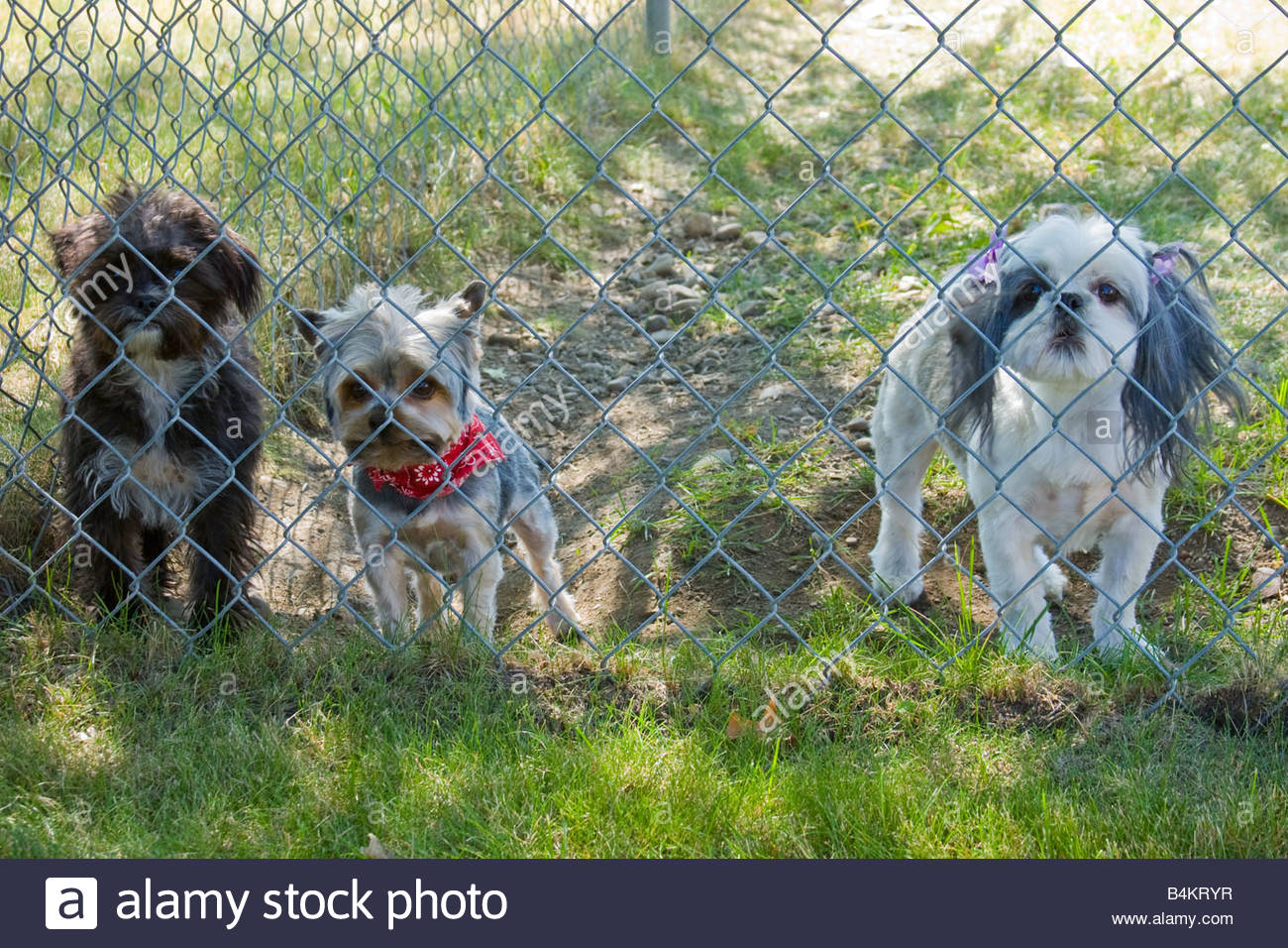 Three small dogs behind a chain link fence. - Stock Image