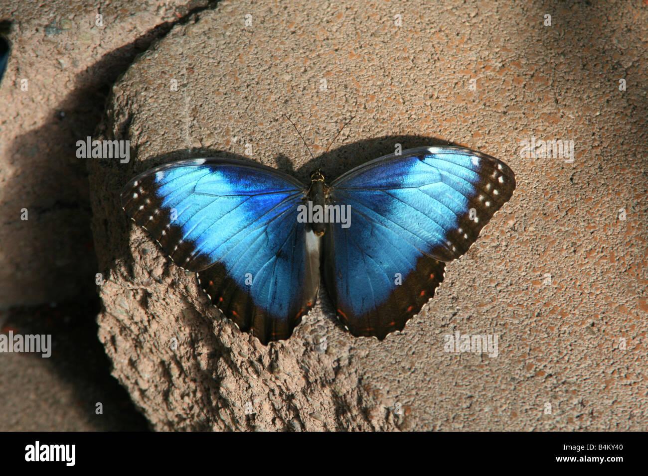 Blue Morpho Butterfly Morpho peleides Mexico Stock Photo