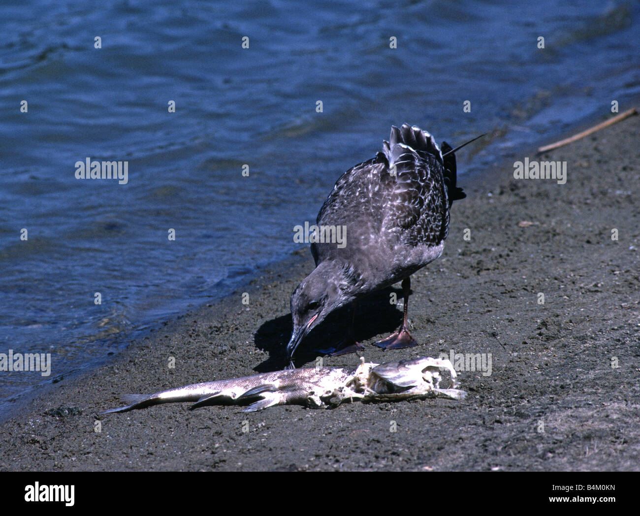 Gull feeds on dead fish at a lake in San Francisco California USA - Stock Image