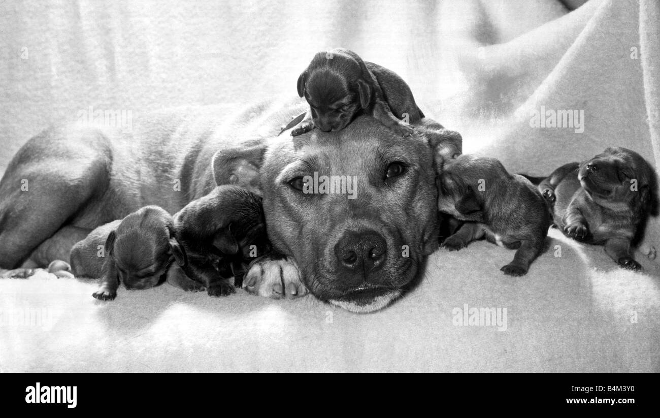 Staffordshire bull terrier Susan pictured with five newly acquired orphan puppies in Andover hants September 1964 - Stock Image