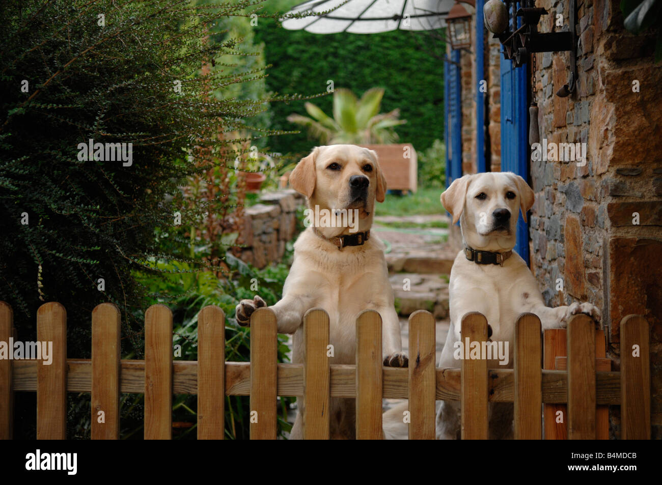 Labrador Dogs At An Entrance Door In France Stock Photo 20118571