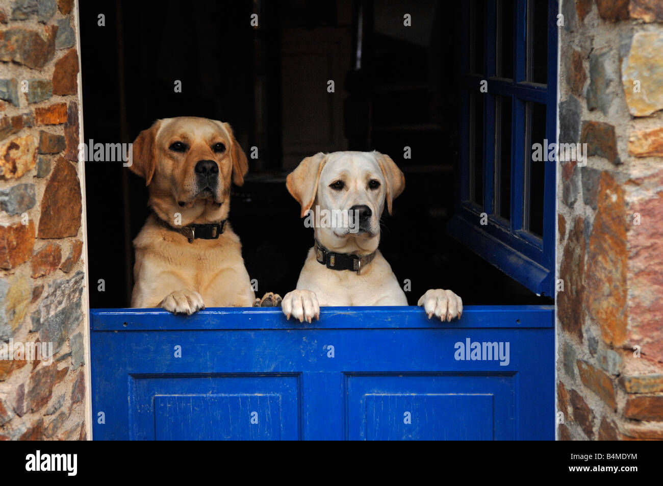 Labrador Dogs At An Entrance Door In France Stock Photo 20119000