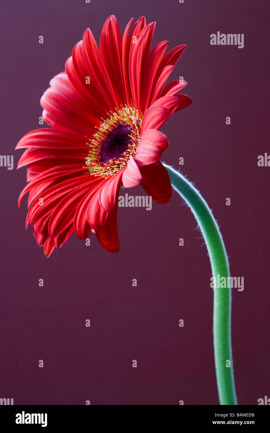 Deep red Gerbera on a purple background - Stock Image