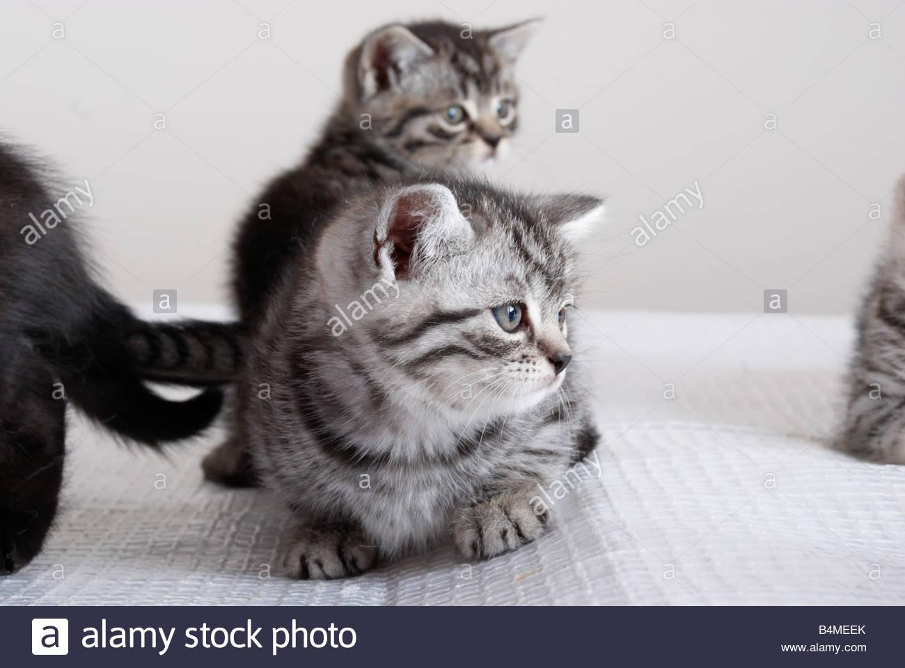 crouching kittens (hidden tiger). - Stock Image