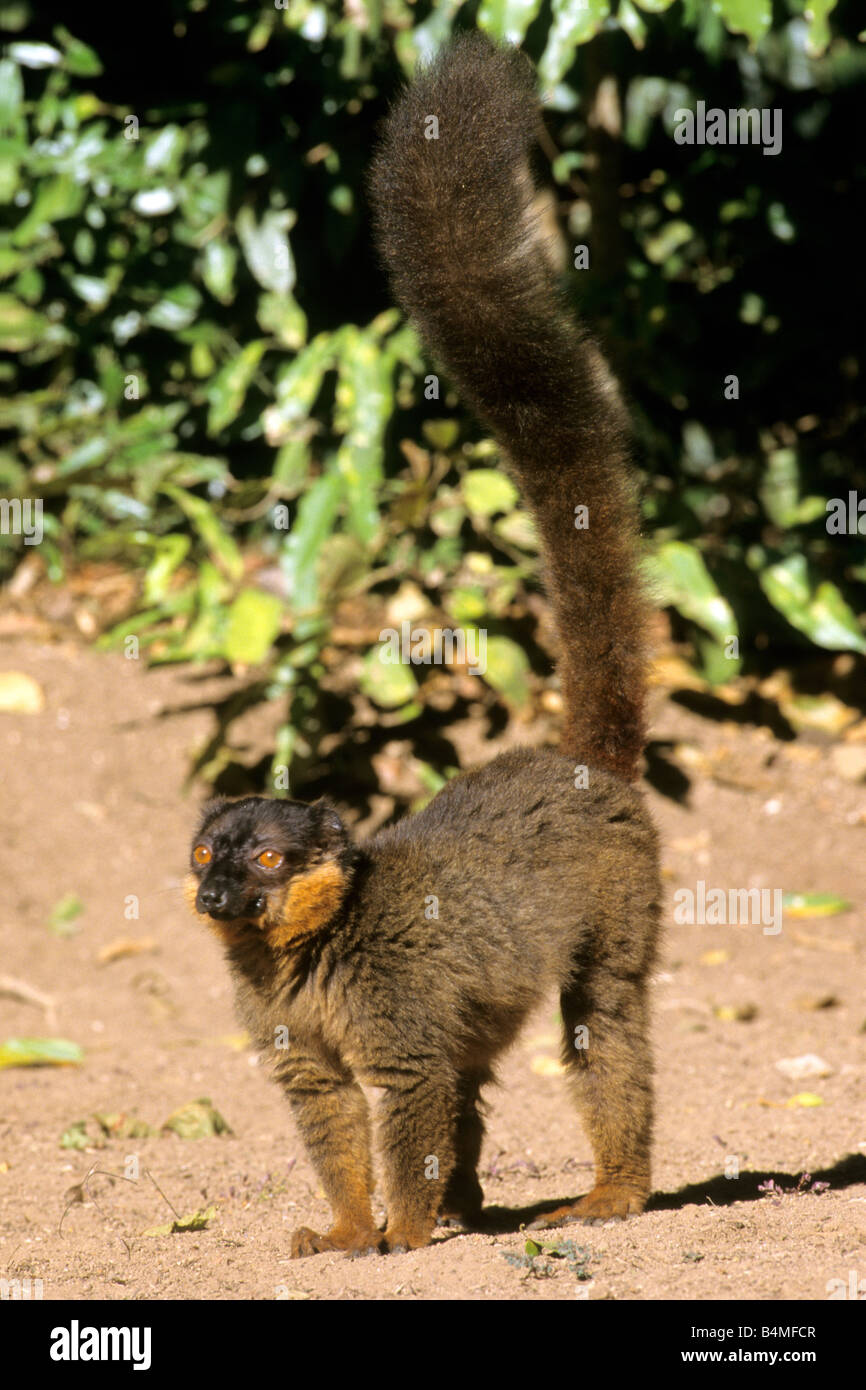 Common Brown Lemur (Eulemur fulvus fulvus, Lemur fulvus fulvus) - Stock Image