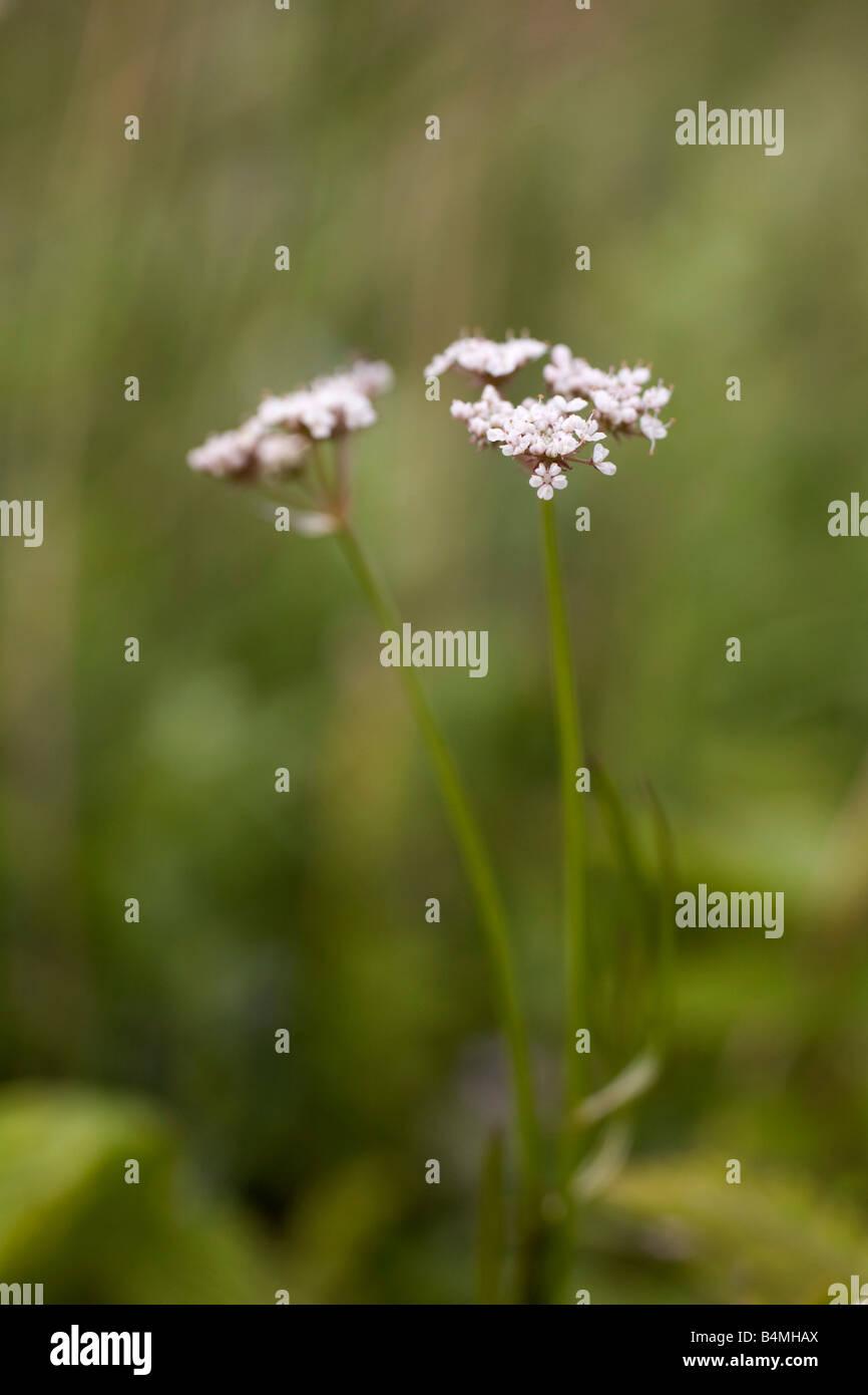 parsley water dropwort Oenanthe lachenalii - Stock Image