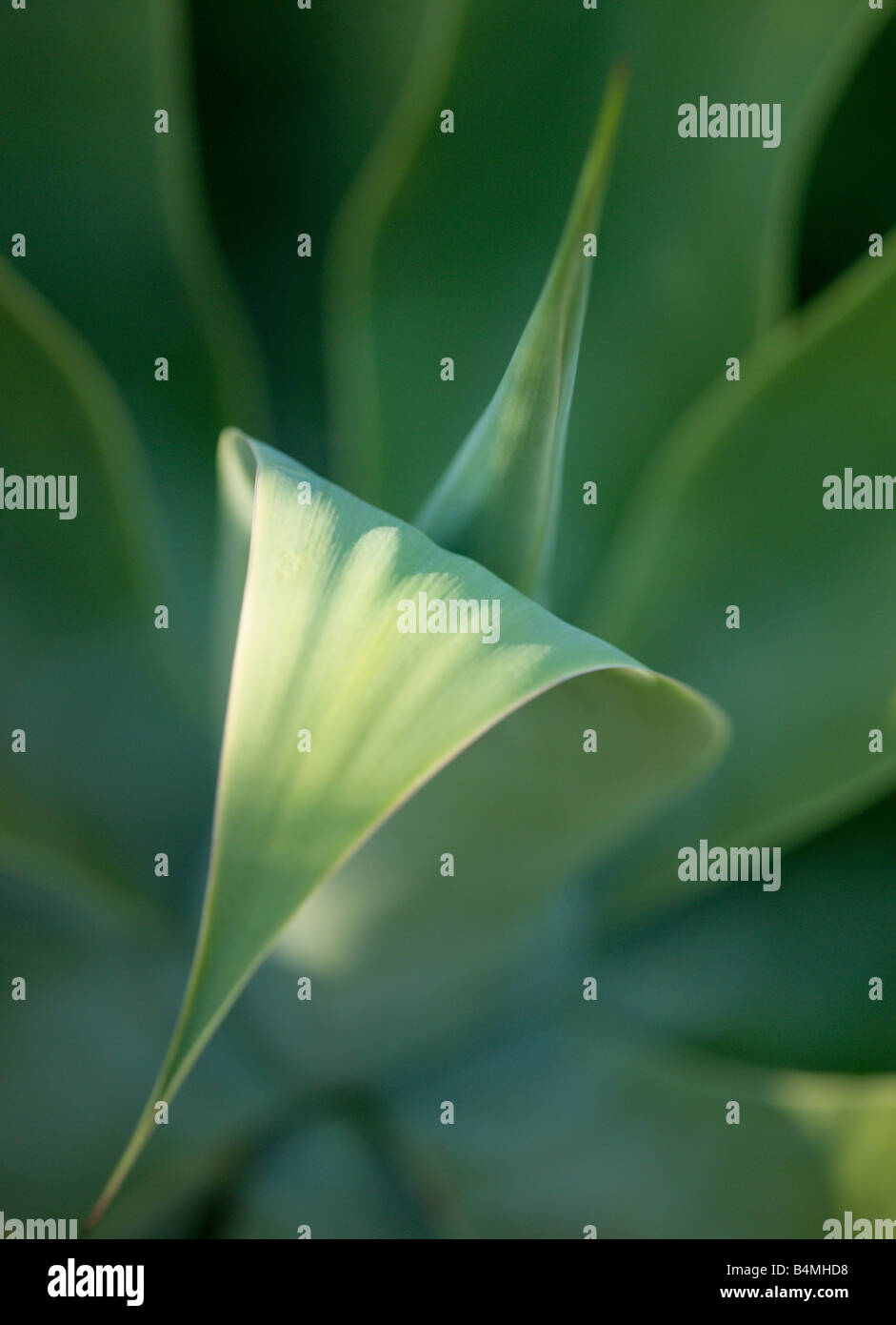 Agave Attenuata,detail - Stock Image