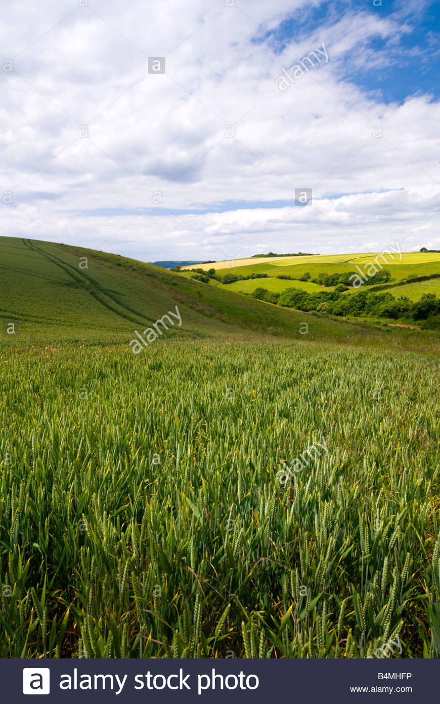 Field of wheat in early Summer, near Plymouth, South Devon, England. - Stock Image