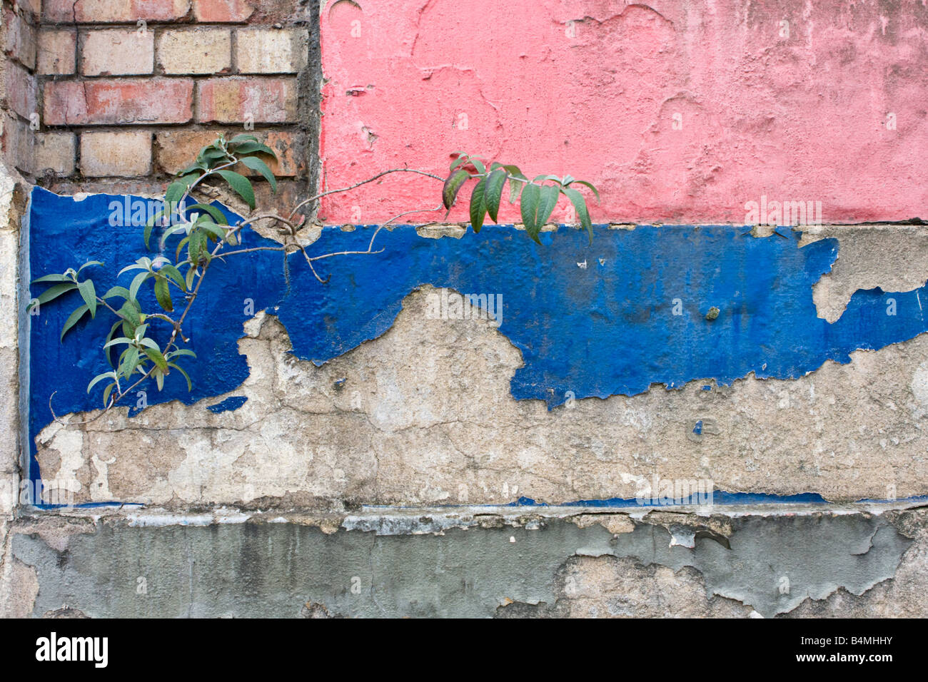 Flaking and peeling paint with a Buddleja growing amongst it on former Odeon Cinema St Albans UK - Stock Image