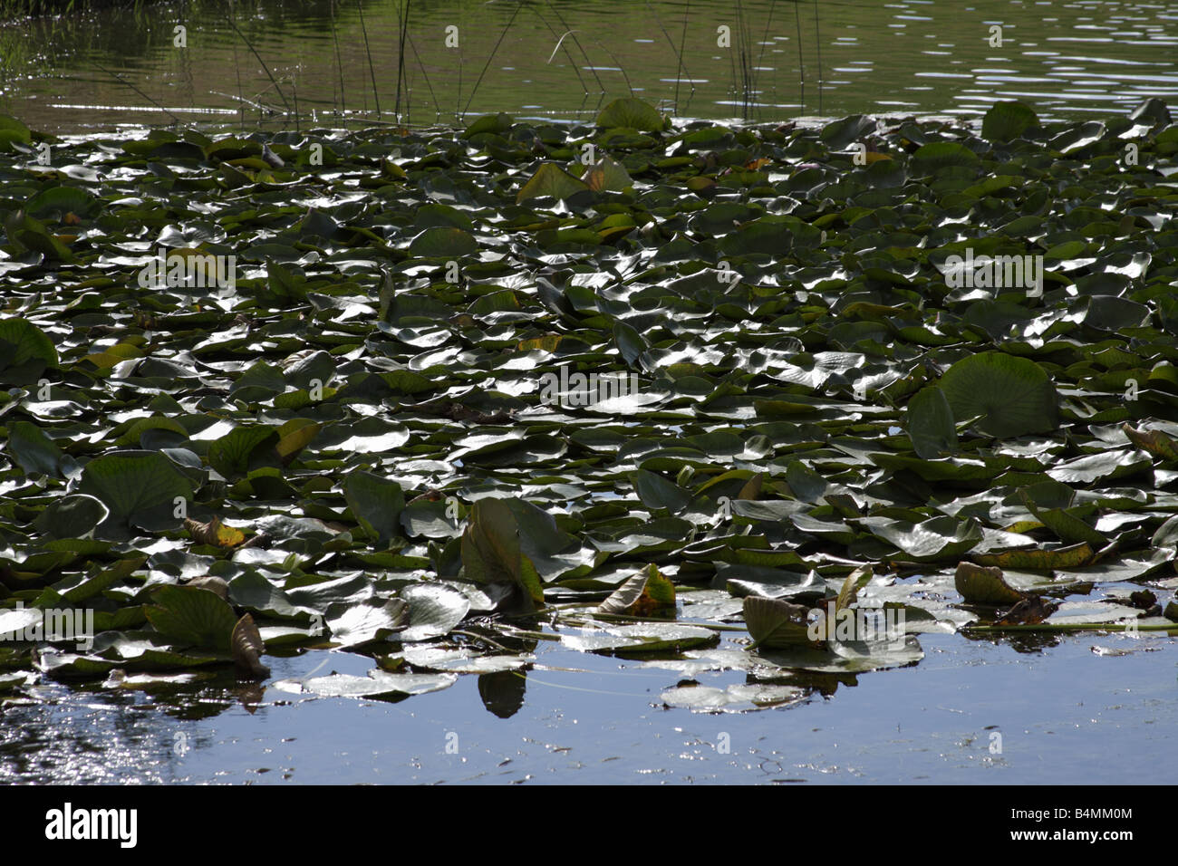 Waterlilies (Nymphaea), Arizona, USA - Stock Image