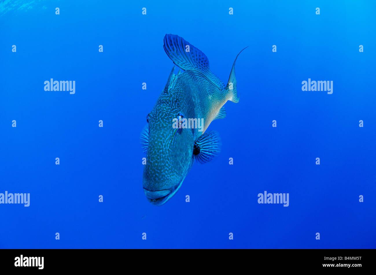 Grey triggerfish Balistes carolinensis Balistes capriscus - Stock Image
