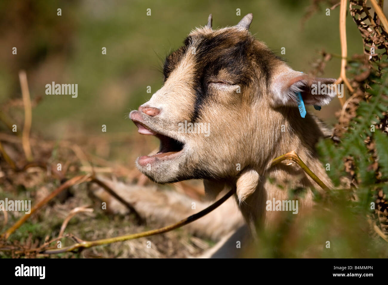 pygmy goat calling - Stock Image