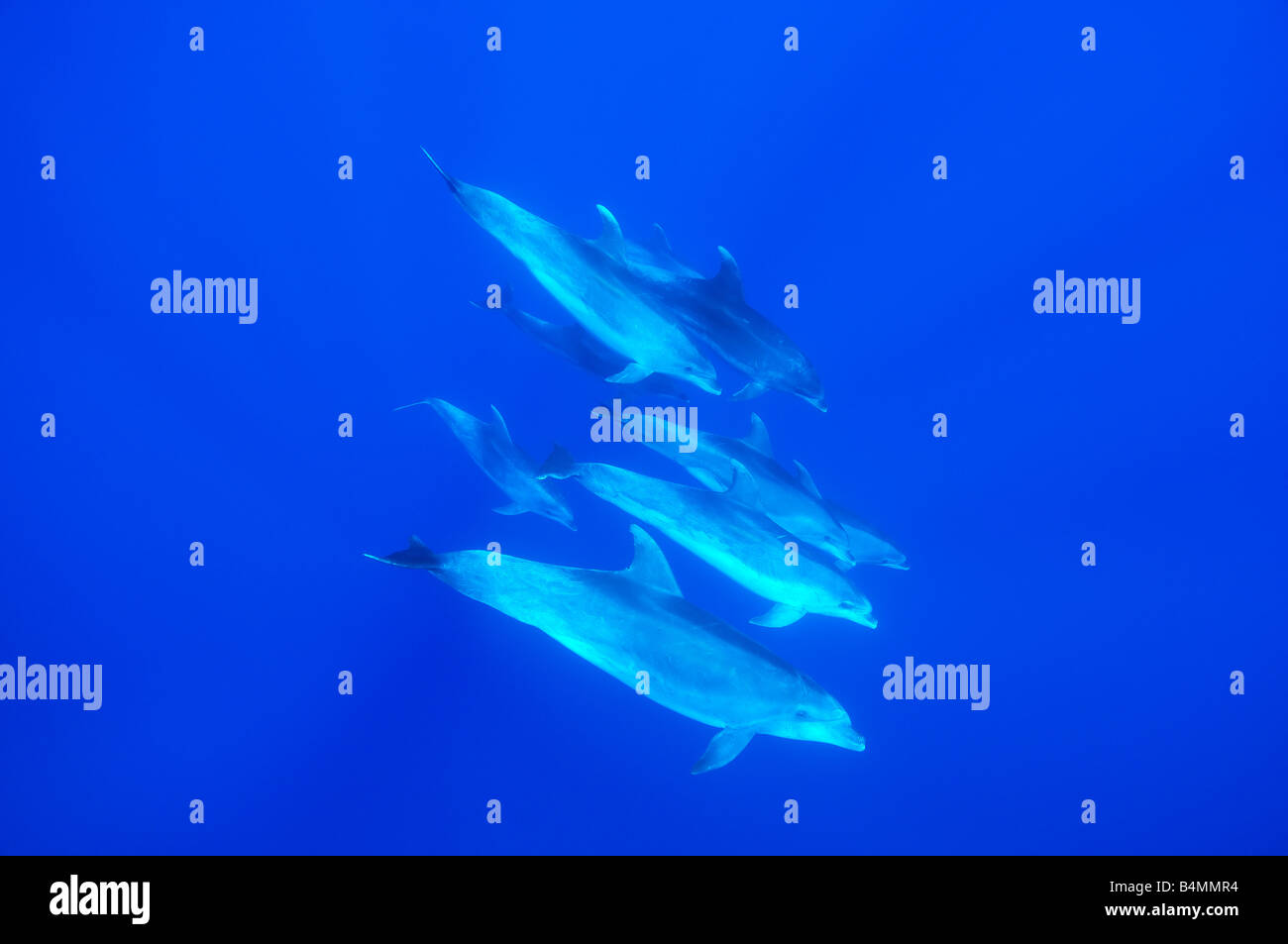 Bottlenose Dolphins group of dolphins underwater - Stock Image