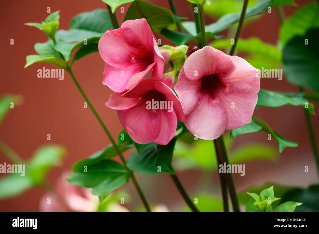 Allamanda High Resolution Stock Photography And Images Alamy