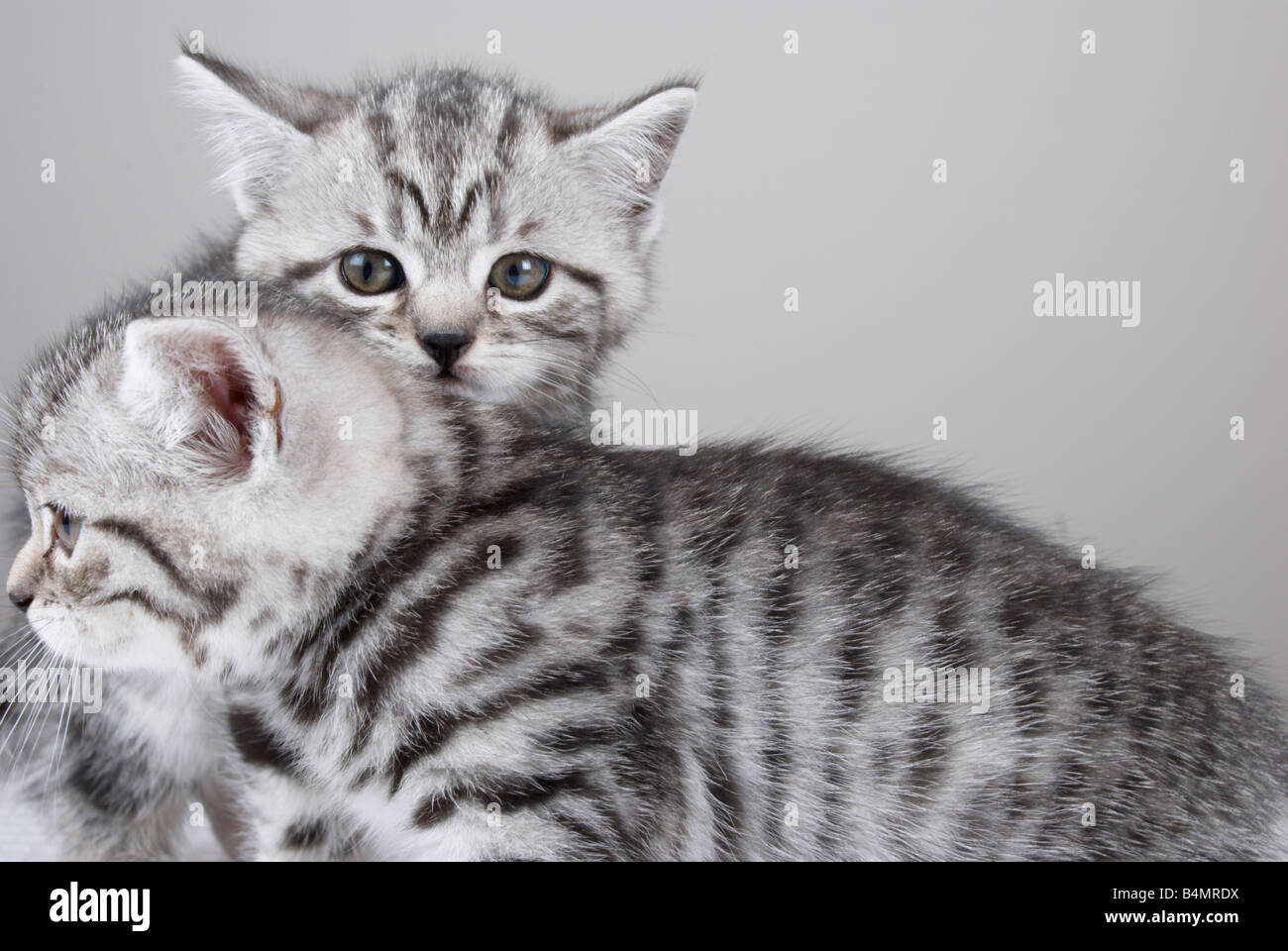 kitten crouched behind one of his siblings - Stock Image