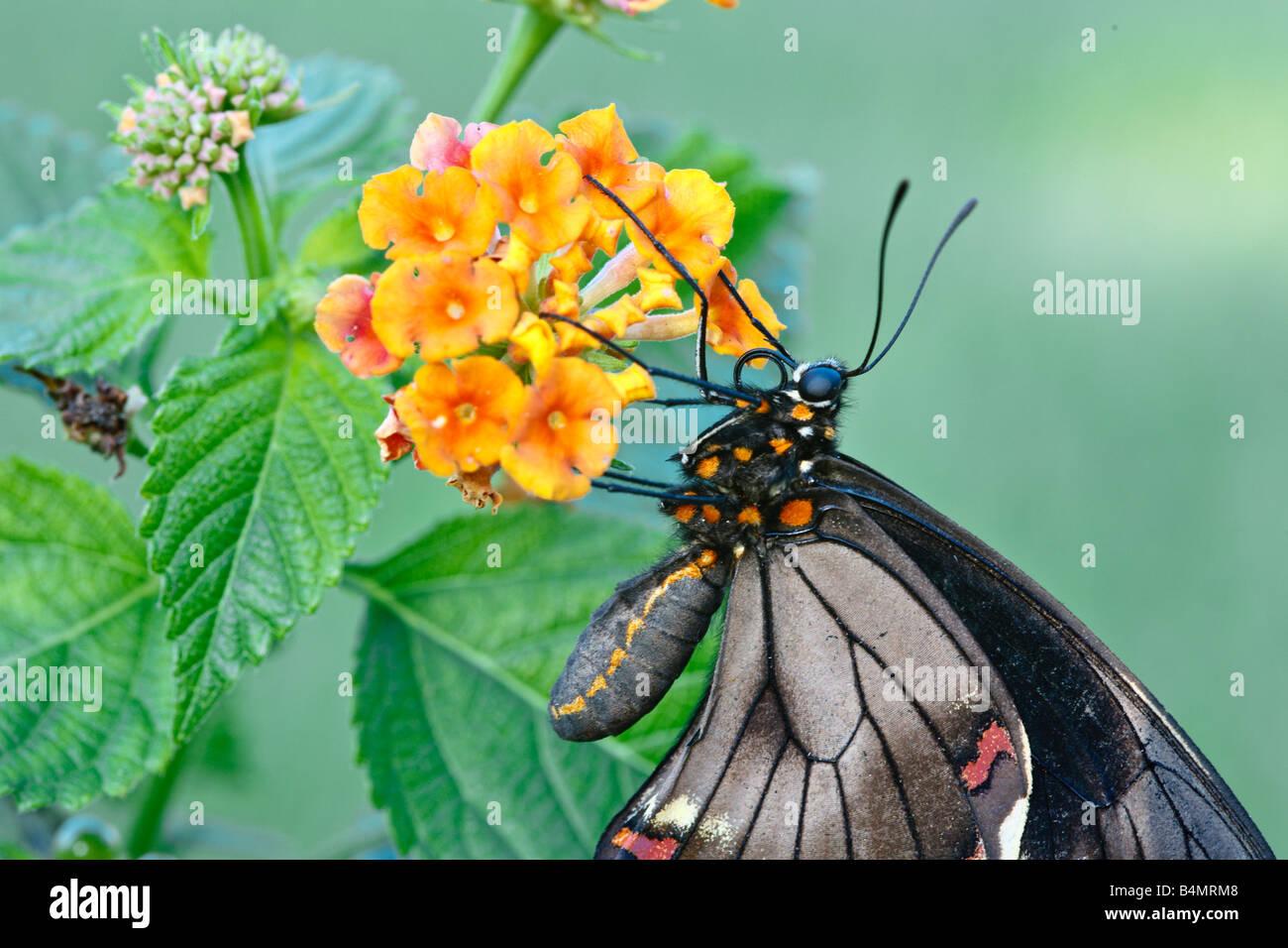 Close up of Battus Polydamas feeding on nectar of orange Lantana plant - Stock Image
