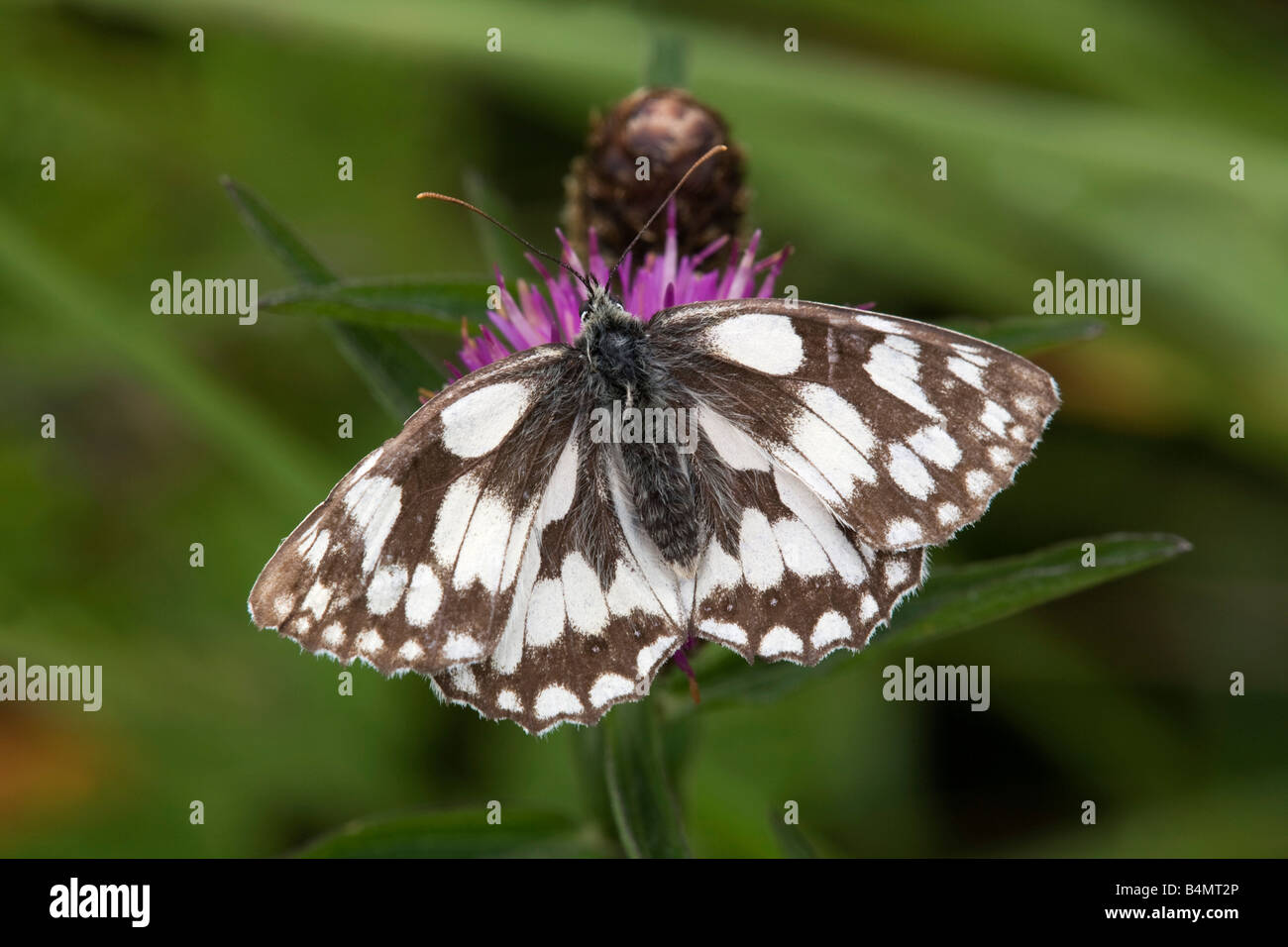 marbled white butterfly Melanargia galathea - Stock Image