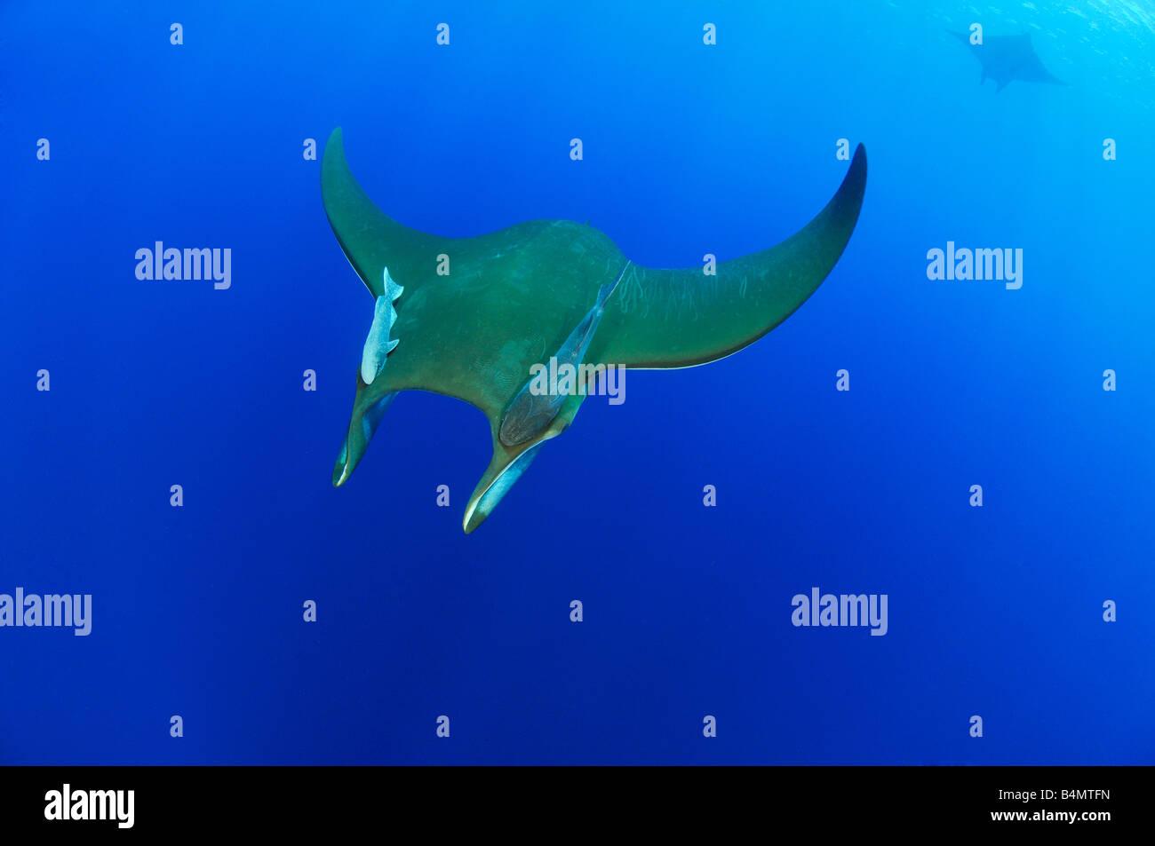 Mobula tarapacana Devil rays with Remora remora, Azores - Stock Image