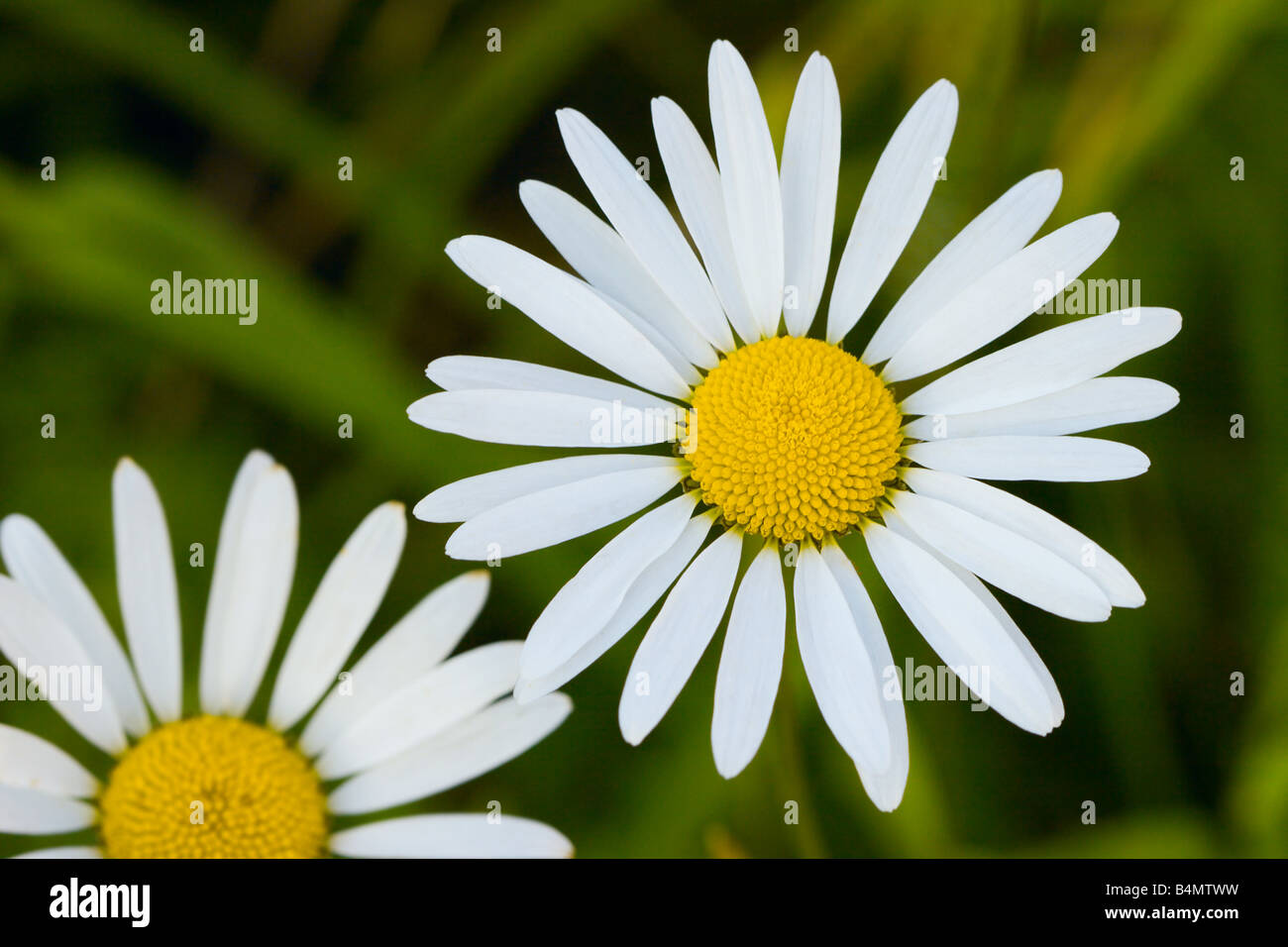 Two camomiles close up photo. Focus on right camomile. - Stock Image