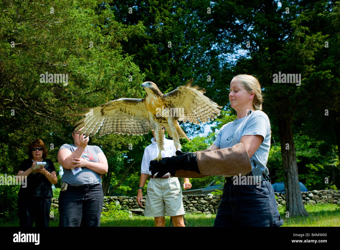 Environmentalists release a red Tailed hawk back into the wild after rehabilitating the injured bird - Stock Image