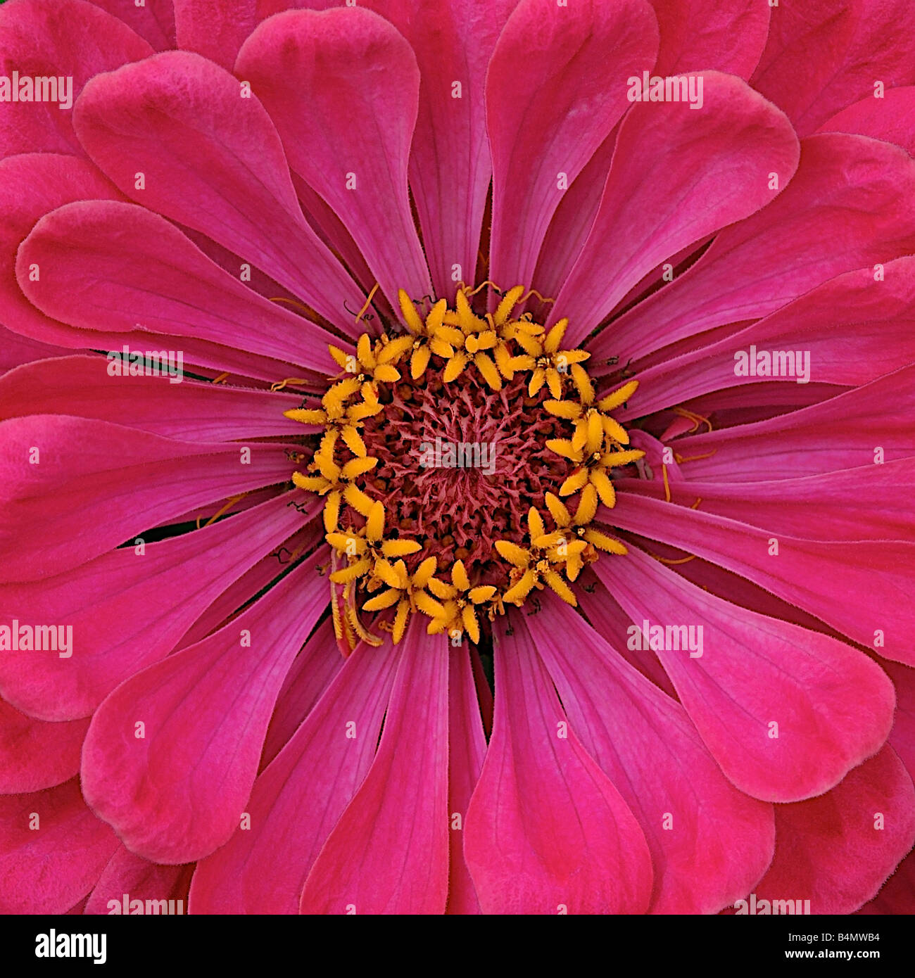 Bright pink flower with yellow centre stock photos bright pink centre of a pink zinnia in full bloom stock image mightylinksfo