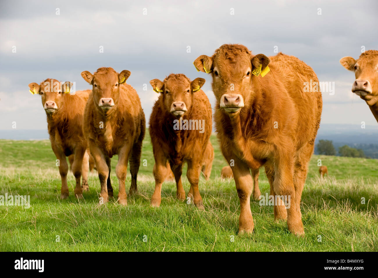 Limousin suckler calves in field Leyburn North Yorkshire - Stock Image