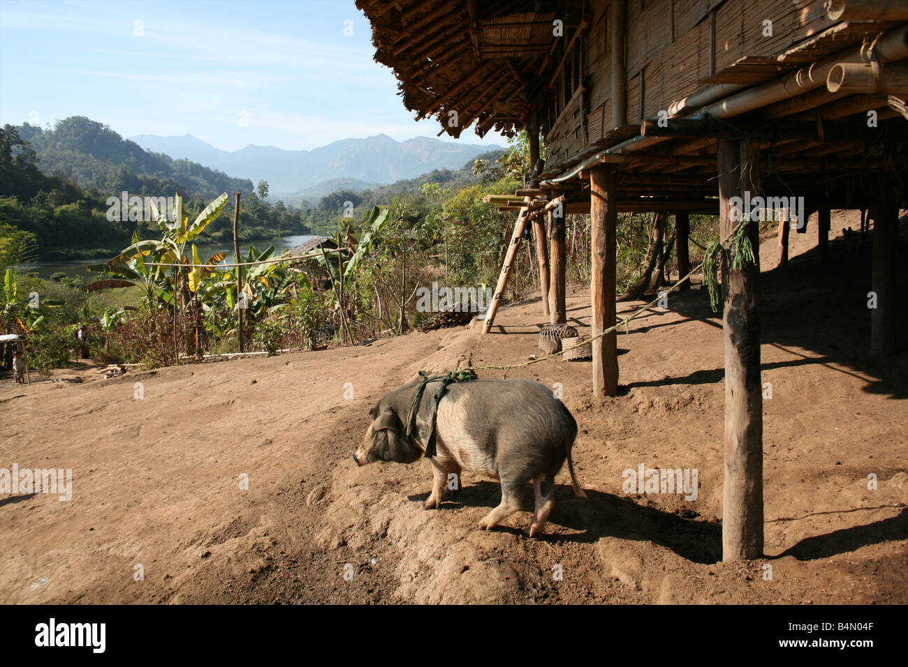 A pig tied to a hut near the border with Thailand In Myanmar Burma thousands of people have settled near the border - Stock Image