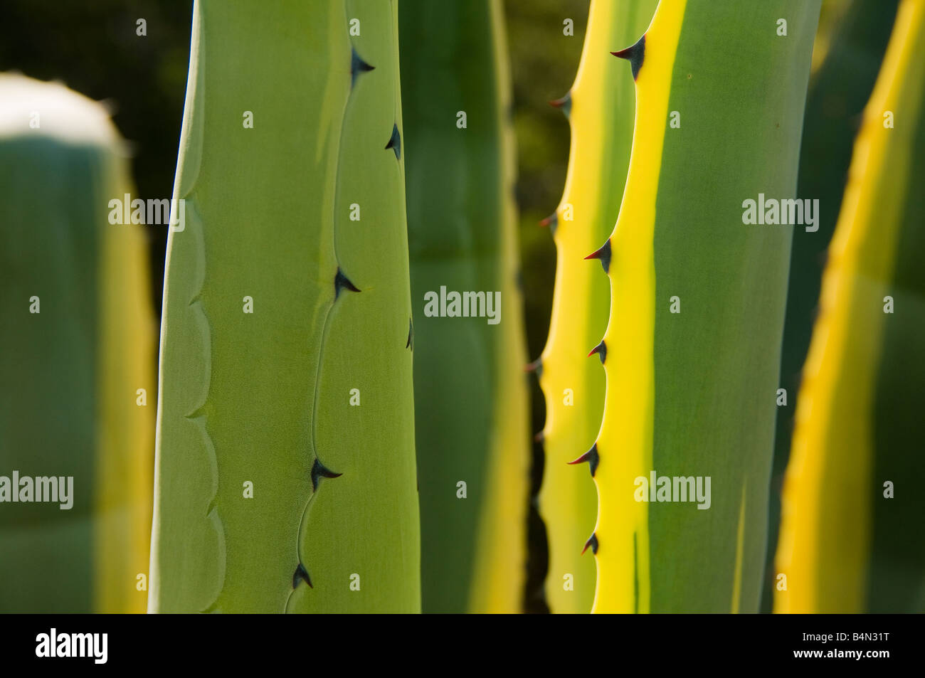 Leaves of Agave plant on Porto Santo the neighbouring island to Madeira - Stock Image