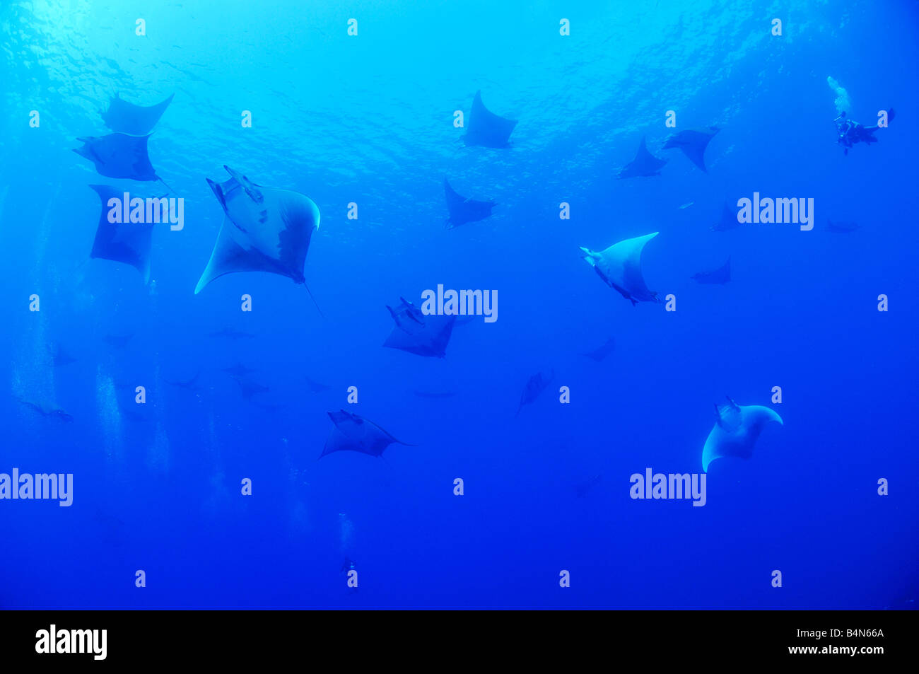 Devil ray Devil fish big school of  Manta rays with scuba diver, Mobula tarapacana, Azores - Stock Image