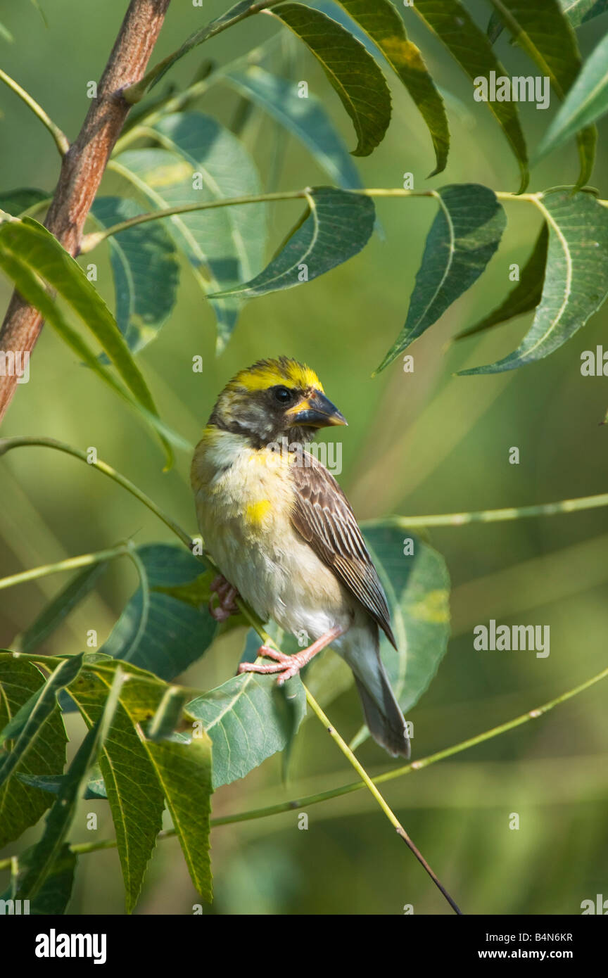 Ploceus philippinus. Baya Weaver bird perched in a tree in the Indian countryside. Andhra Pradesh, India - Stock Image