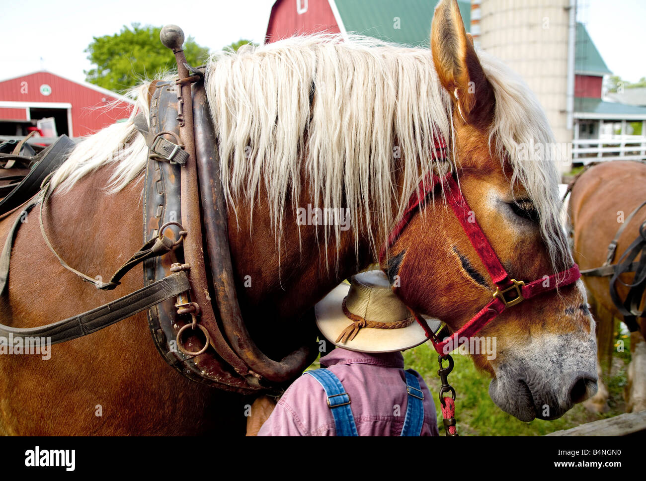 Harnessing a Belgian Draft Horse on a southern Wisconsin farm - Stock Image
